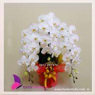 Hoa lan hồ điệp trắng chậu 3 cành