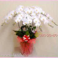 Chậu lan hồ điệp trắng – Hoa lan kiểu nhật