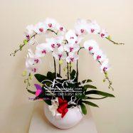Chậu Hoa lan hồ điệp trắng hồng