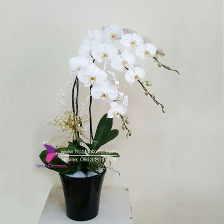 hoa lan ho diep trang chau 3 canh