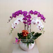 chau hoa lan ho diep 5 canh trang tim