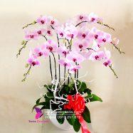 Chậu hoa lan hồ điệp hồng – Nhớ ơn thầy cô ngày 20-11
