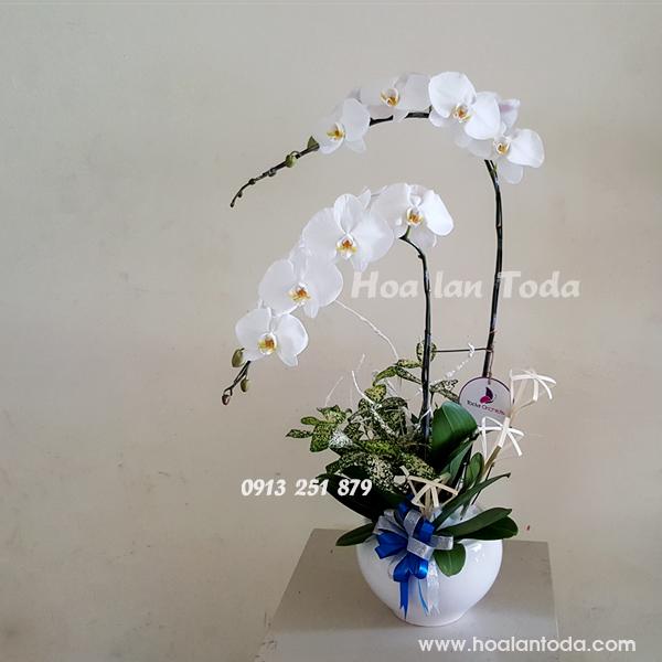 hoa tang ban gai ngay 8 3
