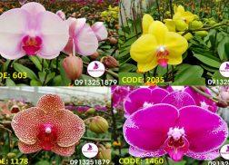 cac mau hoa lan hoa diep