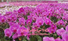 Toda Orchids Cung Cấp Lan Hồ Điệp Giá Sỉ Lẻ Số Lượng Lớn Rẻ Nhất TPHCM