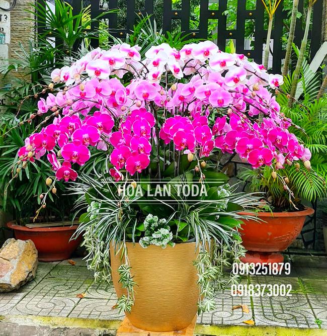 gia ban hoa lan ho diep tet