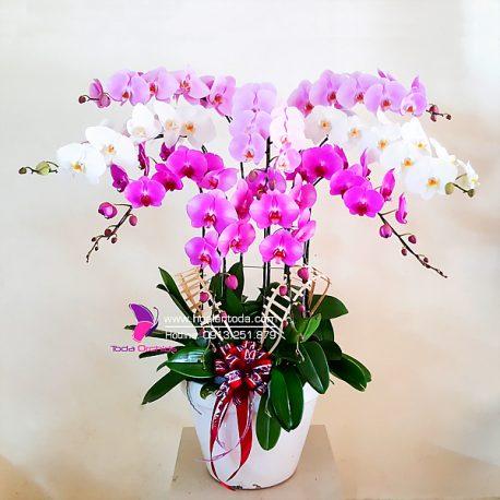 chau hoa lan dep tang chuc mung sinh nhat bo me